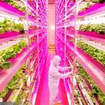 日本啟用全球最大室內農場
