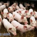 中國的豬糞也可以轉化成再生能源