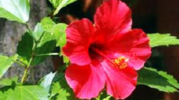 (朱槿又名扶桑,歐語系按在拉丁語的學名稱為中國玫瑰) 看到客家文化園區列的說明,原來客家九香是包括了夜合、玉蘭花、含笑、茉莉、夜來香、圓粄花(千日紅)、山馬茶、樹蘭和朱槿等。這些常在客家鄉栽種的植物,手冊上說明「九香花是客家人在祈福還福中的供品。」「隨手摘來當盤花,供奉神明,盤花擺上三四天後曬乾,用幾塊碎布包裹,拿來泡熱水洗澡。」 這些香喚起我幼時遙遠的回憶,當阿嬤凝望茉莉花時,會露出很像少女的微笑神情,怎麼也不肯說出花的溫柔故事。 同行的前輩高歌客家歌謠,樸實的歌詞形容的傳神,若是我想的客家九香象徵,