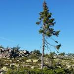 見証地球興衰的歐洲雲杉