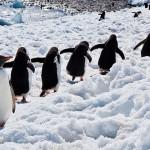 巨型冰山擱淺阻擋了覓食...南極逾15萬隻企鵝餓死