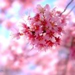 京都長德寺的早櫻