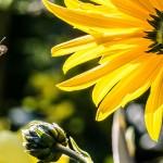 誓死保護女皇峰的工蜂