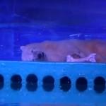 海洋公園居住環境惡劣,廣州北極熊「皮札」憂傷神情令人揪心