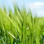 穀物的免疫療法
