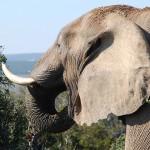 CITES會議否決提升非洲境內大象保護等級