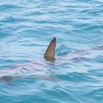 拒吃魚翅保護鯊魚免瀕臨絕種