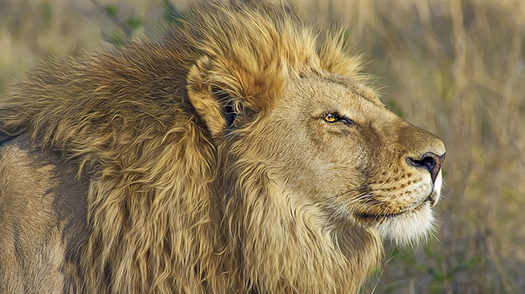 非洲獅子因人類屠殺瀕臨絕種