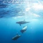 巴西搶救蓋亞那白海豚