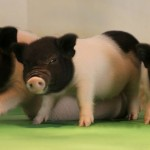 轉基因豬要成為器官捐贈者