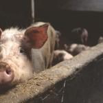 飼養牛豬羊 隱形成本台幣40億
