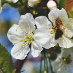 英國將禁止毒害蜜蜂之殺蟲劑
