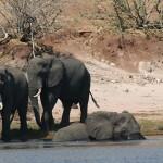 拯救西非馬利的大象
