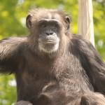 實驗室黑猩猩終於退休了