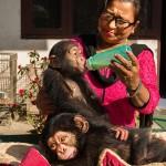 走私的黑猩猩前途未卜