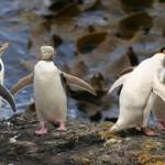 用牠的生命換你餐桌上的魚……全世界最稀有的企鵝頻遭拖網溺斃 野生剩不到1800隻