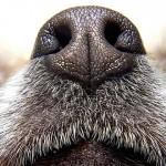 能聞到癌症味道的狗狗可以廣泛用於檢測癌症嗎?
