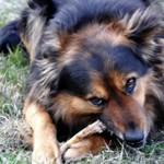 如果狗狗吃雞骨頭會發生什麼?