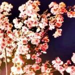 【櫻花樹下會幸福】2018 樂活夜櫻季,在台北內湖就可以賞到盛開綻放的八重櫻