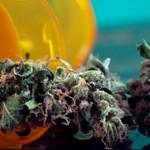 一項新的研究表明,大麻可以增強老齡鼠的記憶力