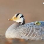 海康威視首支生態紀錄片發佈,攜手綠色江河升級斑頭雁守護