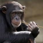 研究 : 黑猩猩一起看電影感情更好