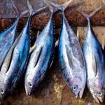 全球大量需求恐導致鮪魚滅絕