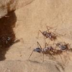 撒哈拉銀蟻 : 全世界最快速螞蟻