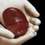 器官移植手術中,器官能在外待多久?