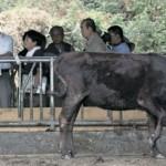 李登輝的養牛夢 只差最後一哩路