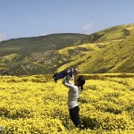 加州瘋野花