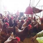 住貨櫃屋、24小時聽詩歌的母雞! 職場教會實踐異象,助弱勢者創業生產雞蛋