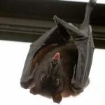 蝙蝠 傳染之源
