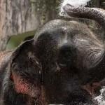 【沒有觀光客,大象也被裁員】疫情讓泰國象園紛紛倒閉,但這些大象回家的路並不好走