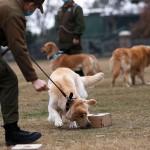 狗能夠從患者唾液嗅出Covid-19
