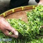 避免農藥茶、香料茶下肚 認清產地標示