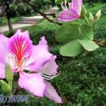 菁菁校園春意盎,紫荊花開滿庭芳