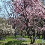 落櫻繽紛的中央公園
