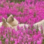 不是合成照,加拿大攝影師拍下北極熊歡樂的打滾時光