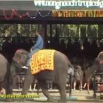 泰國大象表演實在有夠厲害