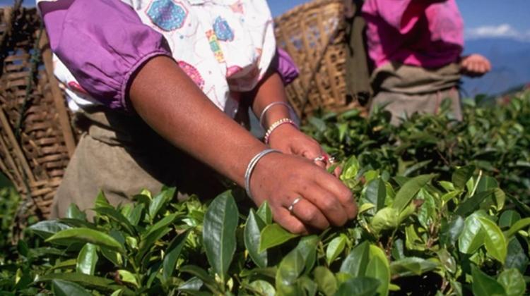 來看高達90%的茶葉有農藥殘留、全球第二大產茶國印度 如何走上有機茶葉的推動之路