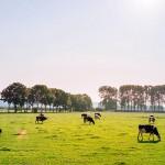農場環境有助於治療氣喘