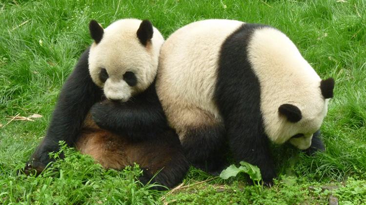 貓熊不再是瀕絕物種!非洲的「大金剛」卻極度瀕危
