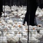 露天飼養是防疫漏洞? 年年上演大撲殺 台灣禽流感為何愈來愈凶猛?
