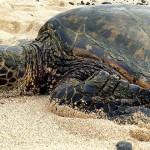 拯救戰火下的海龜