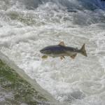 挪威鮭魚產量銳減