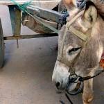 印度對驢子的懲罰-坐牢