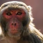 別碰猴子!佛羅里達獼猴攜帶對人類致命的病毒