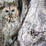 貓頭鷹,從耳洞裡看到眼球