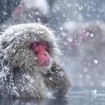 科學家終於知道為什麼雪猴也喜歡泡溫泉了